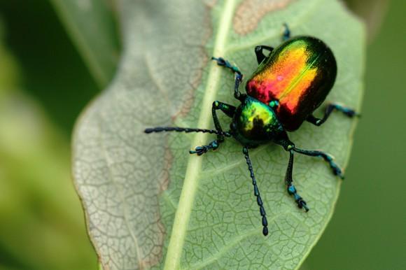 20140707-12-dogbane_beetle-Intervale-1024