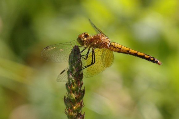 20150731-44-band-winged_meadowhawk-Centennial_Woods