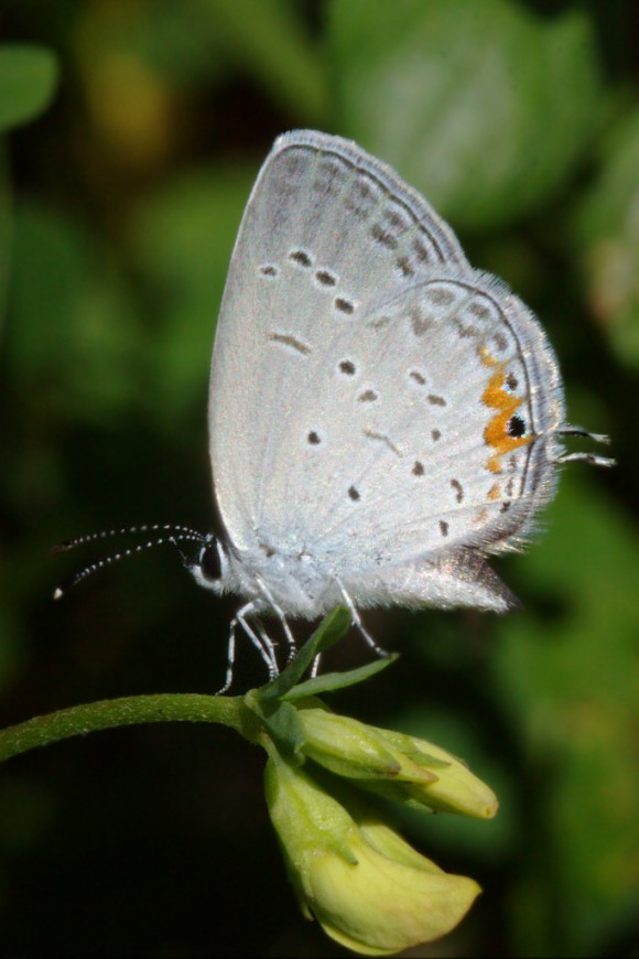20150805-10-eastern_tailed_blue-Centennial_Woods-1024